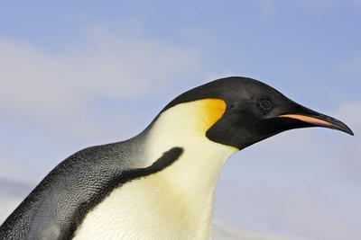 Emperor Penguin Close-Up of Head