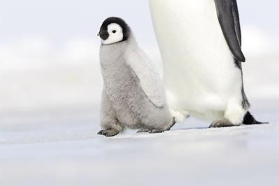 Emperor Penguin Chick Walking across Ice
