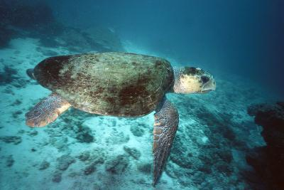 Loggerhead Turtle Female