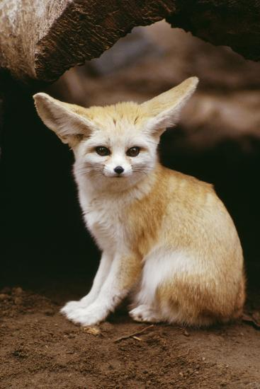 Fennec Fox Sitting Photographic Print At Allposters Com