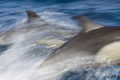 Long-Beaked Common Dolphin Porpoising at Speed