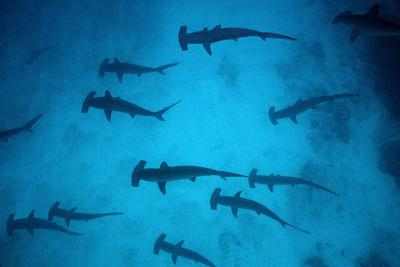 Scalloped Hammerhead Sharks These Sharks Congregate