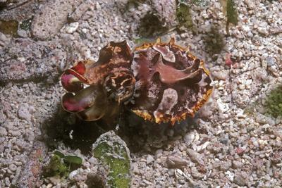 Flamboyant Cuttlefish Photographed in an Isolated