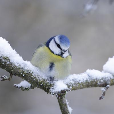 Blue Tit in Winter on Snowy Branch