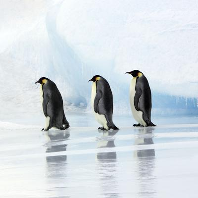 Emperor Penguin, Three Adults Walking across Ice