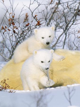 Polar Bear Cubs on Mother