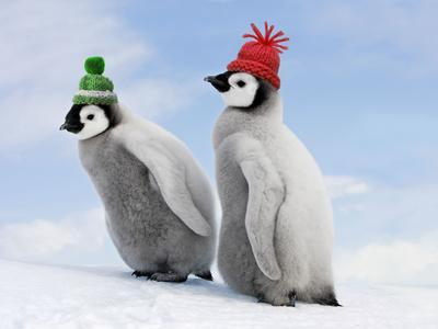 Emperor Penguin, Two Chicks with Woolly Hats