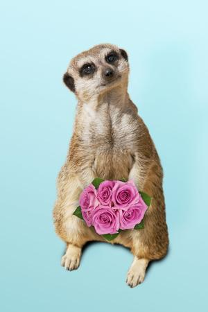 Suricate Holding a Bunch of Roses
