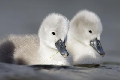 Mute Swan Two Chicks a Few Days Old