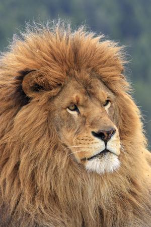 Nubian Lion, Extinct in Wild