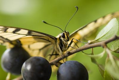 Swallowtail Butterfly on Blackthorn