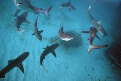 Galapagos Sharks Many Congregate in the Lagoon