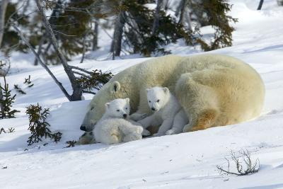 Polar Bear Sleeping Female and Cubs