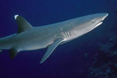 White-Tip Reef Shark Showing Mating Scars