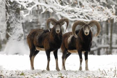 European Mouflon Rams in Snow