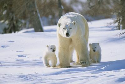Polar Bear and X Two Cubs Walking Alongside