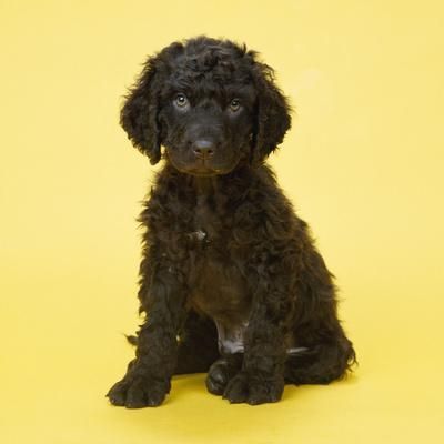 Irish Water Spaniel Dog Puppy