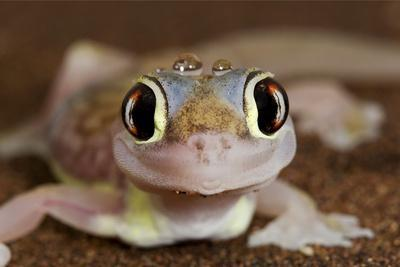 Palmato Gecko Close Up of the Head with Water Droplets