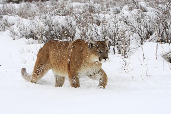 """Résultat de recherche d'images pour """"puma dans la neige"""""""