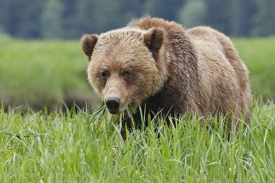 Grizzly Bear Eating Grass in Spring