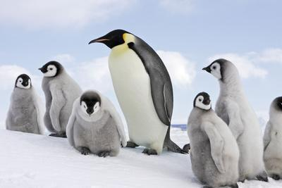 Emperor Penguin, Adult with Group of Chicks