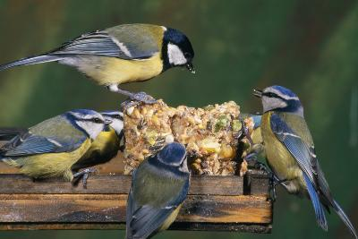 Blue Tit and Great Tit (Parus Major) at Bird Table
