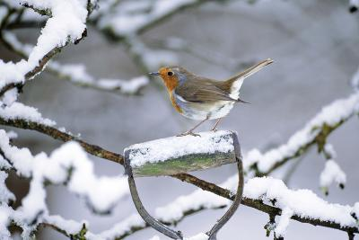 Robin Perched on Spade Handle