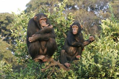 Chimpanzee Two in Tree