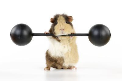 Guinea Pig Lifting Weights