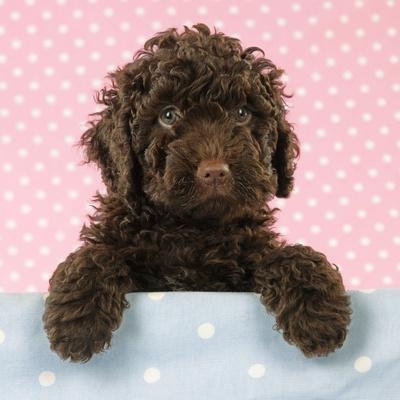 Spanish Water Dog Puppy Looking over Shelf