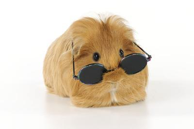 Guinea Pig Wearing Glasses