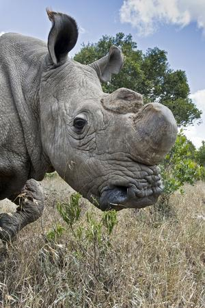 Northern White Rhinoceros after Initial Release