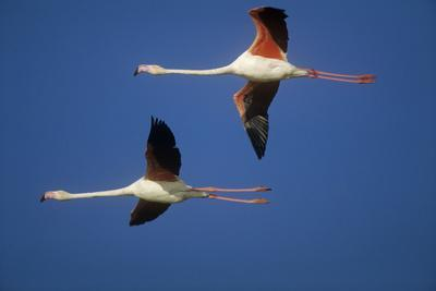 Greater Flamingo X Two in Flight