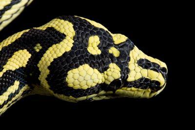 Jungle Carpet Python Head