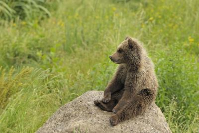 European Brown Bear Cub Sitting on a Rock