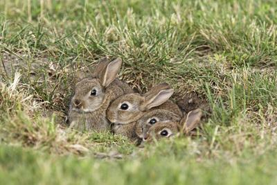 Wild Rabbits Young