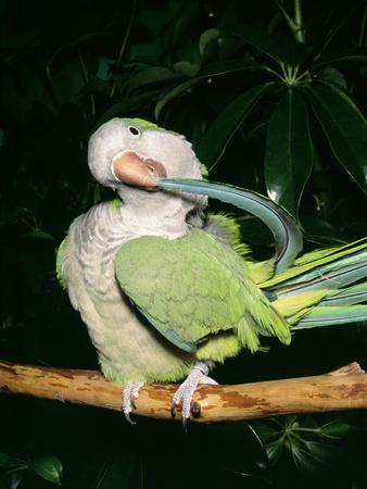 Quaker Parrot Preening