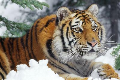 Siberian Amur Tiger Close-Up