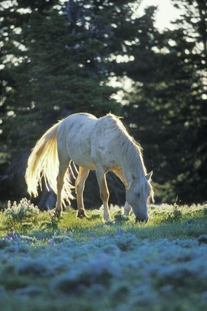 "Mustang Wild Horse White Stallion (Named ""Cloud"")"