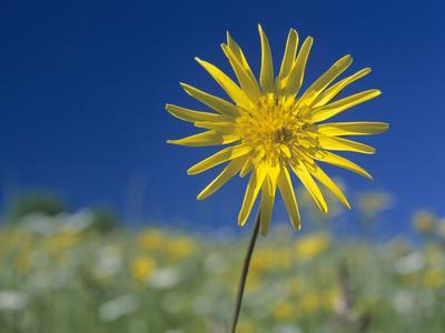Meadow Salsify in Colourful Spring Meadow