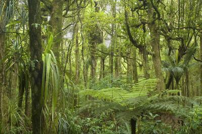 Kauri Forest Lush Kauri Forest with Ferns And