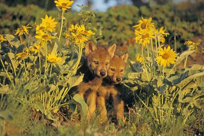 Timber Wolf Pups in Flowers