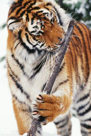 Siberian Amur Tiger Gnawing Branch