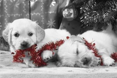 Golden Retriever Puppies under Christmas Tree