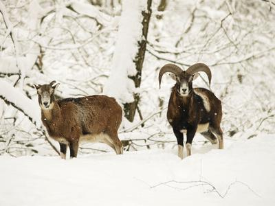 Mouflon Ram and Sheep in Snow