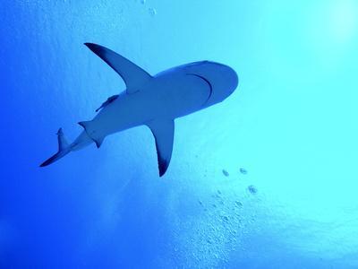 Grey Reef Shark Swimming