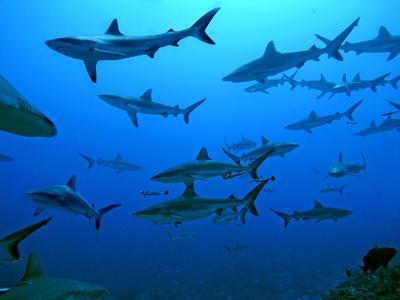 Grey Reef Sharks in the Tumotos, French Polynesia