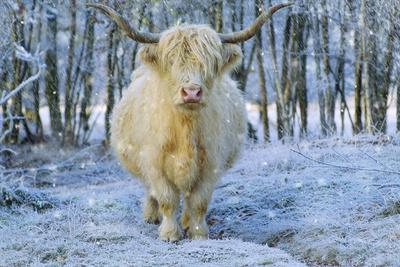 Scottish Highland Cow in Falling Snow