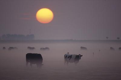Cows Grazing During Sunset in the Haze