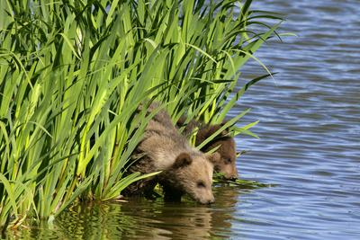 Brown Bear Two Cubs Drinking Water at a Lake